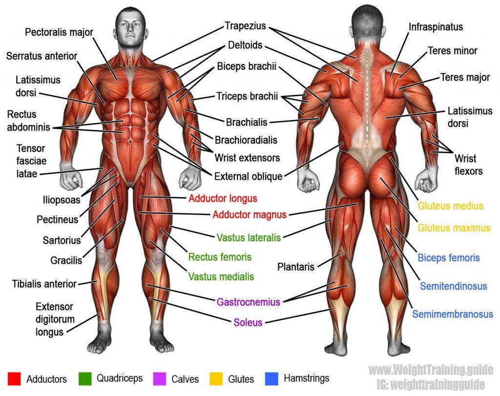 دلایل تحلیل رفتن عضلات در بدنسازی